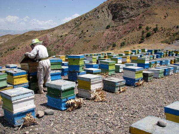 905 تن عسل در زنبورستانهای استان قزوین تولید شد