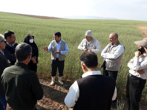پایش مزارع گندم بذری شهرستان آوج انجام شد