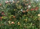برنج کار کامفیروزی رکورد تولید سیب در مرودشت را زد