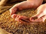 توزیع بیش از 1500 تُن بذر گندم اصلاح شده در  شهرستان بستان آباد