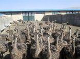 رتبه اول اصفهان در تولید گوشت شترمرغ در کشور