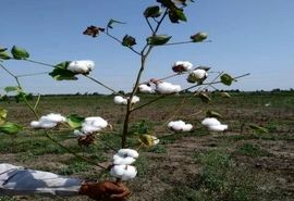 کشت طلای سفید در 600 هکتار از مزارع بهشهر