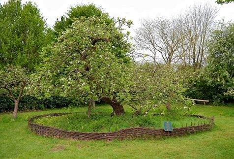 درخت سیب 400 ساله که نیوتن زیر آن قانون جاذبه را کشف کرد/ تصاویر