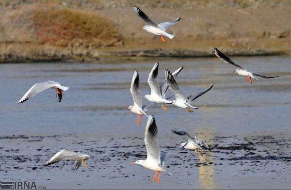 ورود پرندگان مهاجر به سد نعمتآباد اسدآباد