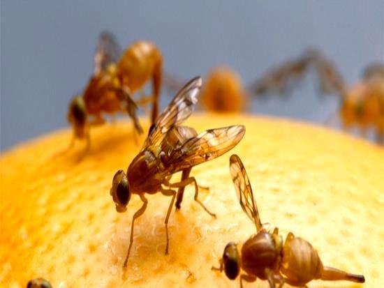 مبارزه با آفت مگس میوه مدیترانهای در باغات میوه شمیرانات