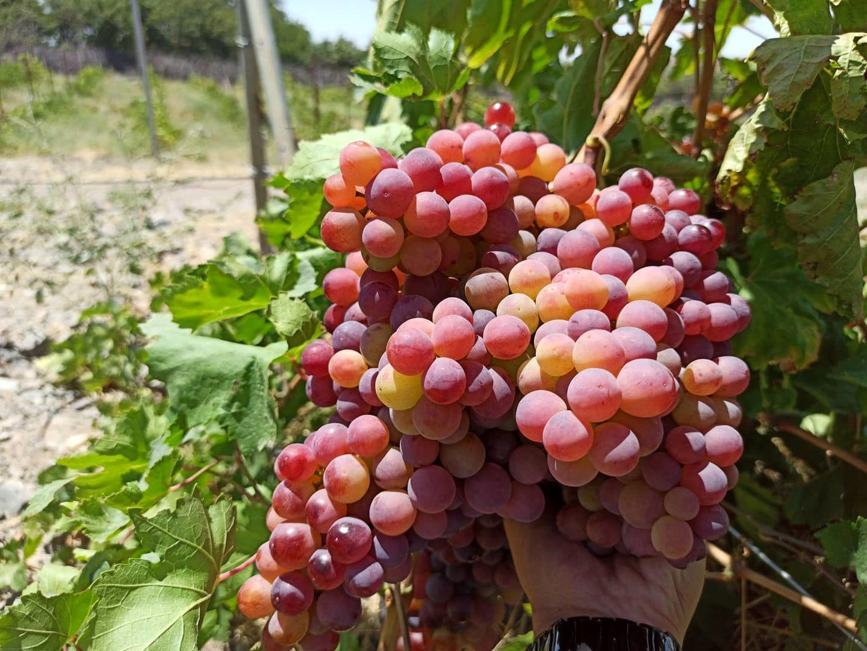 انگور جایگزین مناسبی برای محصولات سردسیری در معرض خطر تگرگ و سرما