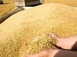 خریداری 110 هزار تن گندم مازاد بر نیاز کشاورزان در آذربایجان شرقی به قیمت تضمینی