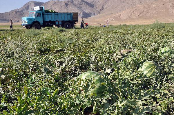 کشت هندوانه در سیستان جایگزین شود