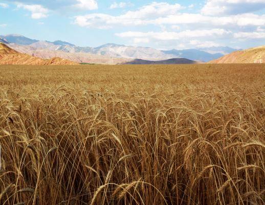 آغاز کیفیتسنجی گندمهای خریداری شده در خراسان شمالی