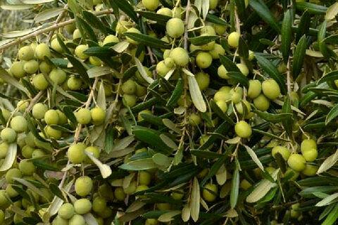 تولید سالانه 12000 تن زیتون در سمنان