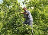 پیشبینی برداشت پنج هزار تن گیلاس در خراسان شمالی