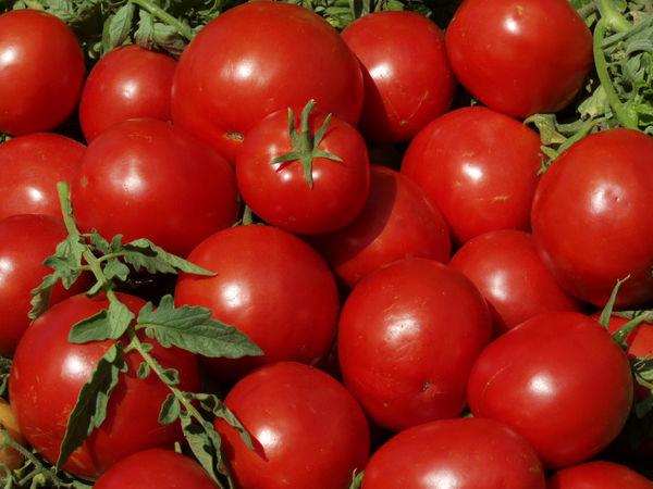 کشت نشایی گوجه فرنگی در اراضی کشاورزی استان قزوین آغاز شد