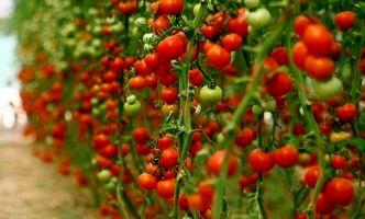 برداشت  بیش از 1500 تن گوجه فرنگی از گلخانههای هیدروپونیک شهرستان بم در سال جاری