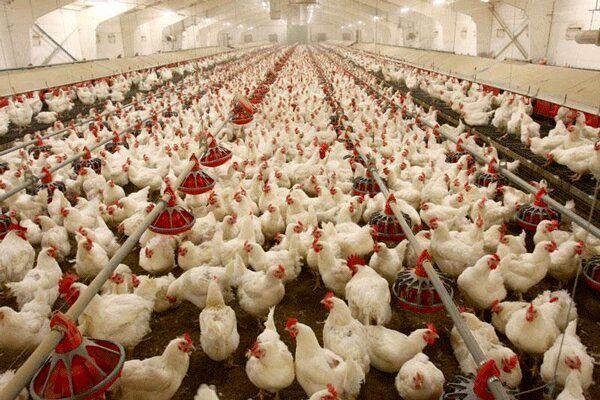 اصفهان پایلوت رتبهبندی مرغ از مرغداری