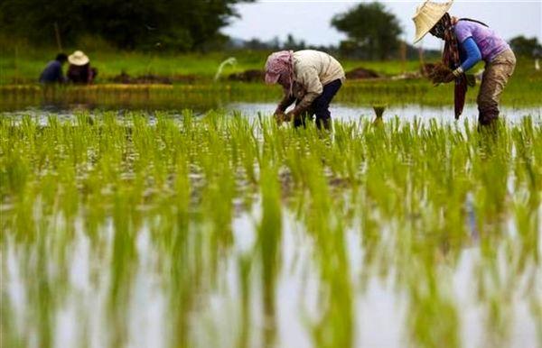 صادرات برنج باسماتی هند به ایران افزایش یافت