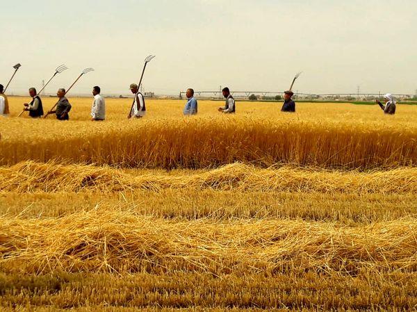 بازسازی مراسم جشن گندم در استان قزوین