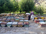 رشد میزان تولید عسل در زنبورستانهای شهرستان اهر