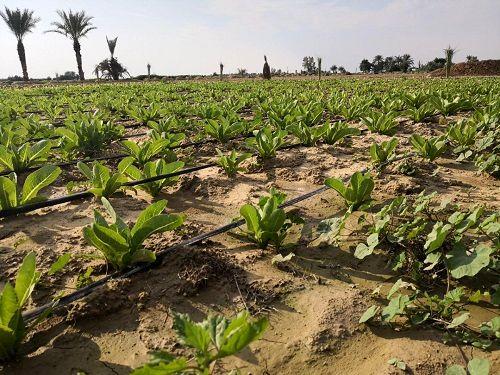 پیشبینی تولید 27 هزار تن کاهو در قیروکارزین