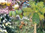 تولید 130هزار تن انواع میوههای گرمسیری در سیستان و بلوچستان