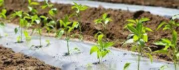آغاز تولید 288 هزار نشاء پنبه در شهرستان ارزوئیه