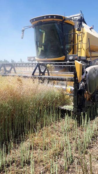 برداشت ۲۷۰  تن کلزا از مزارع کشاورزی شهرستان بویین زهرا