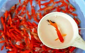 تکذیب واردات ماهی قرمز از چین و سایر کشورها