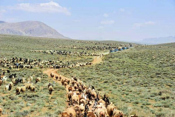 33هزار واحد دامی مستقر در مراتع سیاهکوه ورامین  از 10خرداد به بعد راهی مراتع ییلاقی می شوند