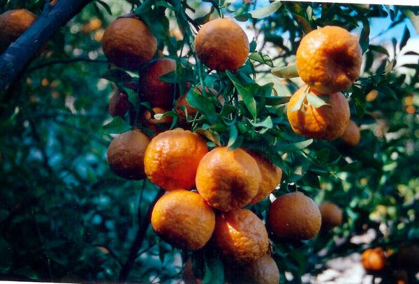 پیشبینی برداشت 66 هزار تن نارنگی