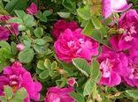 ۳۲ تن گل محمّدی از گلستانهای میاندوآب برداشت شد