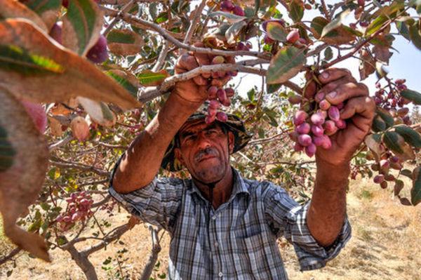 برداشت محصول پسته از باغات استان قزوین آغاز شد