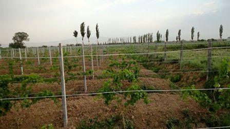 ۶۰۰ هکتار باغ انگور ارگانیک در قزوین ایجاد شده است