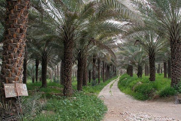 طرح آبیاری نوین در ۱۰ هزار هکتار اراضی نخلستانی استان بوشهر اجرا میشود