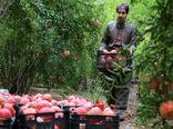 برداشت یاقوتهای سرخ از باغات هورامان