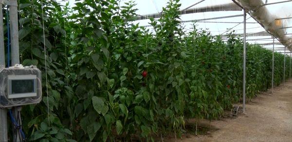 صادرات سالانه بیش از هزار تن محصولات گلخانهای از کشور