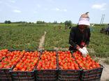 گوجه خارج از فصل نیازمند الگوی کشت ویژه استانهای تولیدکننده است