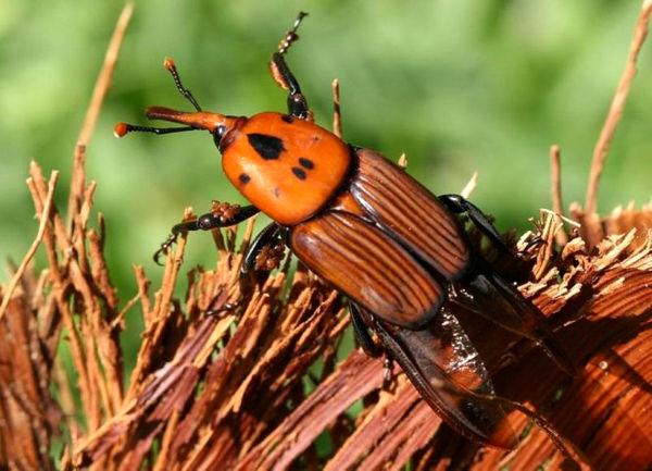 باغهای آلوده به سرخرطومی در گراش قرنطینه شدند