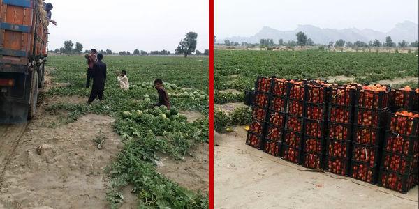 برداشت محصول هندوانه و گوجه فرنگی آغاز شد