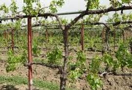 برگزاری روز مزرعه هرس باغات انگور