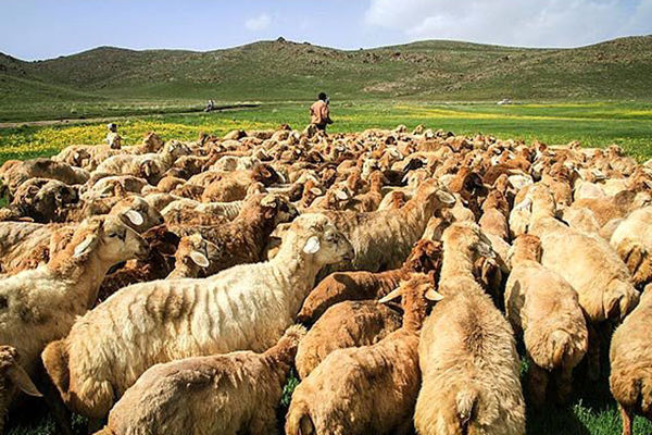 هویت گذاری 60 هزار دام در استان همدان