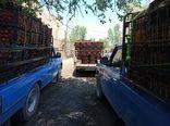 خرید بیش از 7 هزار تن گوجه فرنگی در طرح حمایت از کشاورزان