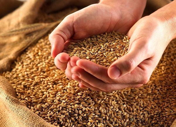 فروش گندم تولید داخل از طریق بورس کالای ایران در سال آینده