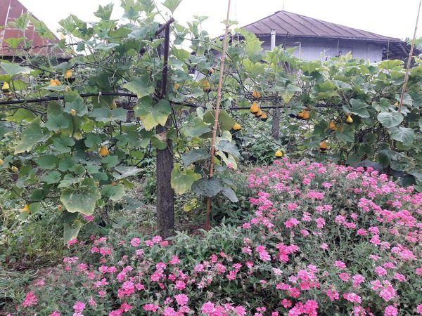 کشت همزمان چند محصول زراعی و صیفی در باغ یک روستایی در رودسر