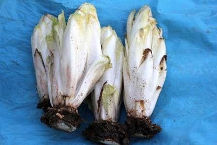 موفقیت کشاورز البرزی در تولید بذر آندیو