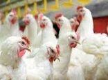 توزیع 50 هزار قطعه مرغ در سرچهان