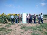 کشاورزان شهرستان آبیک با کشت کینوا در مزارع کشاورزی آشنا شدند