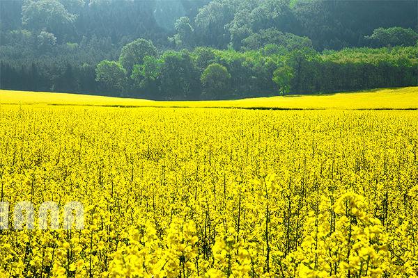 ۳۳۰ هزار تن دانه کلزا از کشاورزان خریداری شد
