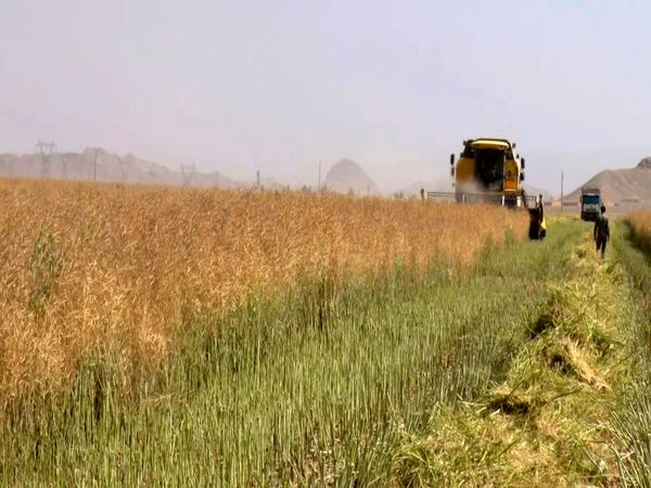بیشترین برداشت از دانه های روغنی در شاهین شهر و میمه