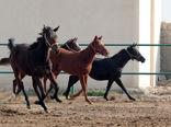 ساماندهی صنعت پرورش اسب در استان البرز با تشکیل تعاونی اسب داران ساوجبلاغ