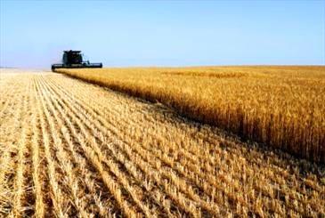 پیش بینی برداشت 150 هزار تن جو از مزارع استان