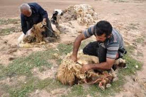 سالانه دو هزارو ۱۶۰ تُن پشم در خراسان شمالی تولید میشود
